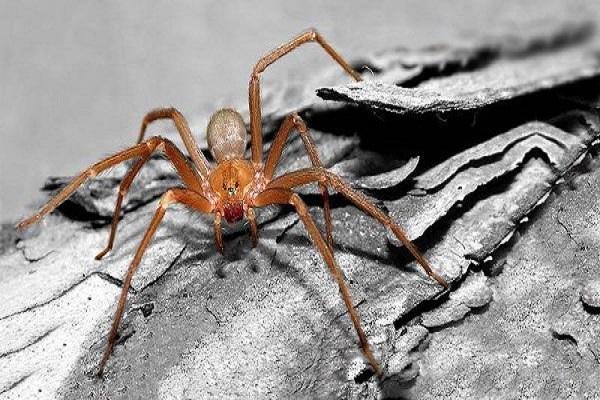 Violin Spider