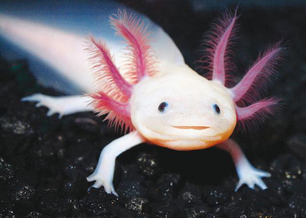 Axolotl - Animali Rari